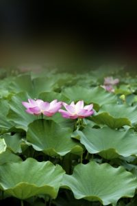 14676293 - lotus blossoms or water lily flowers blooming on pond