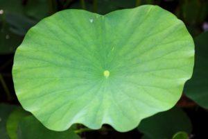 16753378 - lotus leaf
